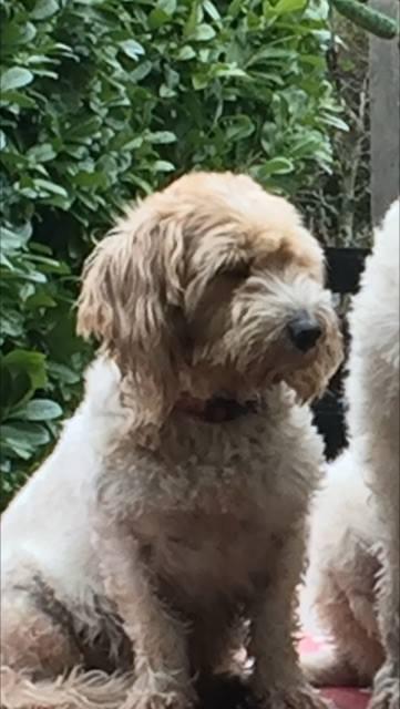 Hond Abbe vermist