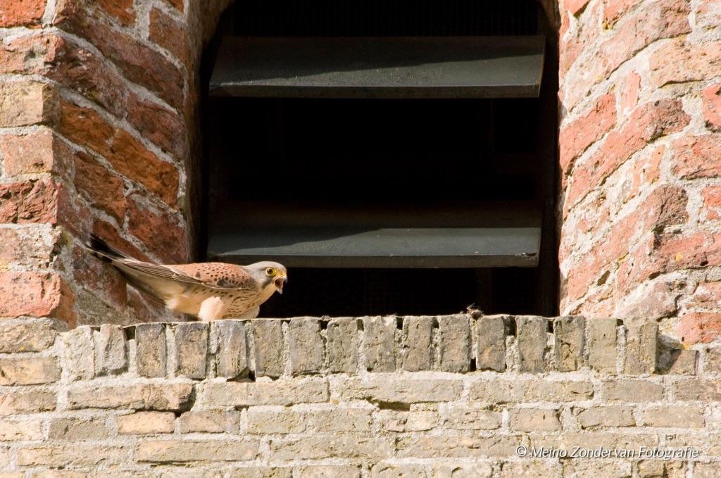 Torenvalken opnieuw in kerktoren Marsum