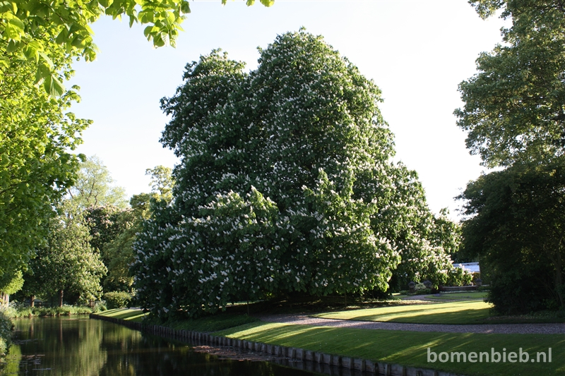 Kastanjeboom Poptaslot mooiste van Friesland